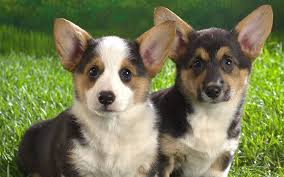 pembroke welsh corgi doggy rocks