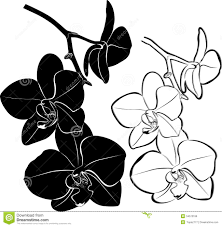 black orchid flower dongetrabi black orchid drawing images
