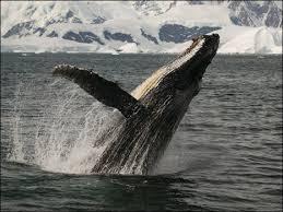 Baleias jubarte ouvem e passam canções adiante, diz estudo