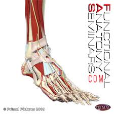High Ankle Sprain Anatomy Quiz Anatomy Injury And Treatment Of Ankle Sprains Functional