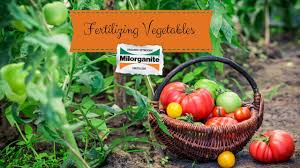 how to fertilize your vegetable garden with milorganite youtube