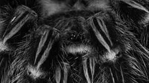 wolf spider incunabuli