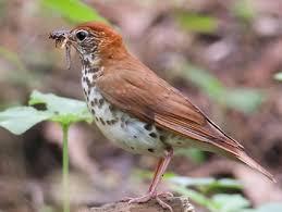 Florida Backyard Birds - wood thrush identification all about birds cornell lab of
