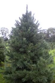 scotch pine christmas tree trees heylmun s choose n cut christmas trees