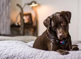 Do Bed Bugs Get On Dogs Do Bed Bugs Feed On Dogs Dog Beds Gallery Images And Wallpapers