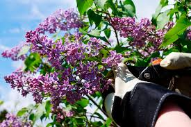 Lilac Flower by When And How To Prune A Lilac Bush