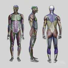 Human Anatomy Reference 148 Best Reference Anatomy Male Images On Pinterest Anatomy