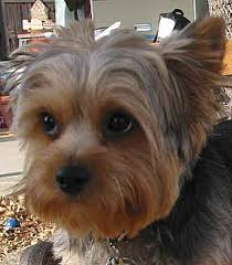 silky terrier hair cut silky terrier haircuts oodle marketplace on cross between the