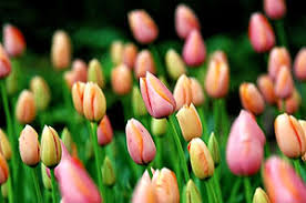 plant spring flowering bulbs in fall for best results next season