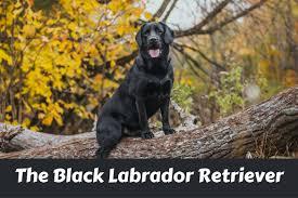 black labrador retriever facts