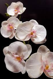 White Orchid Flower Orchids Flowers Petals Leis
