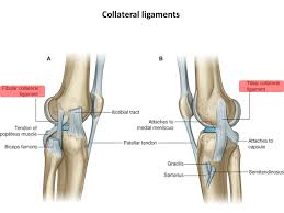 Collateral Ligaments Ankle Knee Region Bones Joint Muscles Artery U0026 Nerves Ppt Video