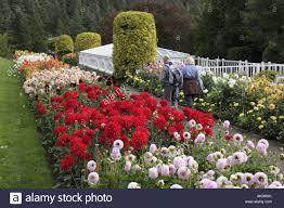 england uk rothbury cragside formal garden flowers dahlias stock