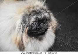 lion dogs lion dog stock images royalty free images vectors