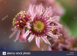 common house leek flower sempervivum tectorum stock photo