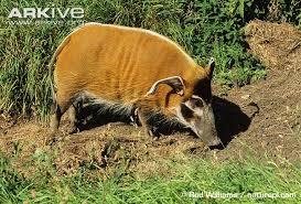red river hog videos photos facts potamochoerus porcus arkive