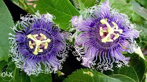 Blue Flower Vine - blue passion flower vine for sale philippines find new and used