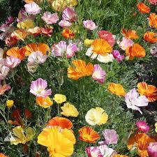 australian seed california poppy ballerina mix