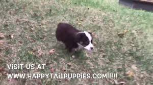 south carolina australian shepherd rescue australian shepherd puppies for sale in nc youtube