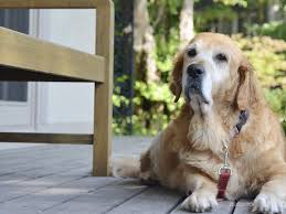 Temporary Blindness In Dogs Idiopathic Dog Epilepsy Neurological Disorders Canine Seizures