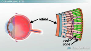 Pathway Of Light Through The Eye How Receptors Of The Eye Conduct Information Via The Optic Nerve