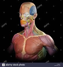 Human Anatomy Upper Body Anatomy Of Male Muscles In Upper Body Posterior View Stock Photo