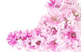 pink flower pink flowers 162 free wallpaper hdflowerwallpaper