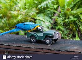 a blue and yellow macaw performs a trick involving a toy car at