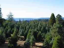 an eco christmas tree guide holiday guide oakland berkeley