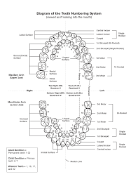 teeth anatomy number image collections learn human anatomy image