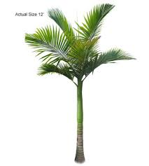 king palm tree archontophoenix alexandrae large the ornamental