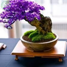 Indoor Plant For Office Desk Aliexpress Com Buy Purple Bonsai Maple Tree Seeds Mini Bonsai