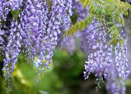how well would a plant grow under pure yellow light wisteria how to plant grow and care for wisteria vines the old