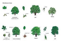 oak noun definition pictures pronunciation and usage notes