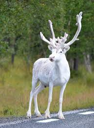 picture of the day white reindeer spotted in mala sweden