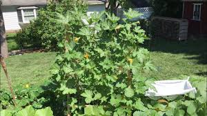 how to grow pumpkins on a trellis how to grow pumpkins summer