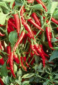 1090 best chili peppers images on pinterest chili pepper and