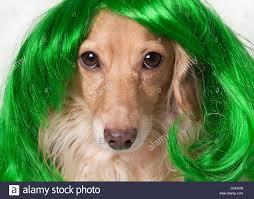 irish dog wearing green wig to celebrate st patrick u0027s day stock