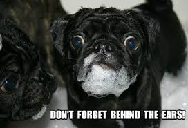 Benson Dog Meme - nice benson dog meme funny pug dog meme pun pigs and pugs pinterest