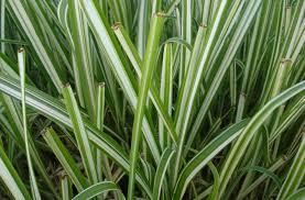 ornament stunning ornamental grasses houston ornamental grasses
