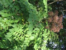 native plants holli richey psychotherapy u0026 herbal medicine