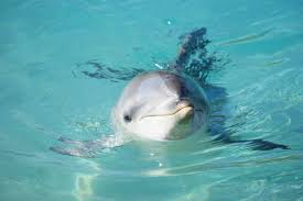 Seeking Dolphin Navy To Replace Mine Seeking Dolphins With Robots
