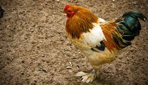 small chicken 5 bantam chickens perfect for your small backyard hobby farms