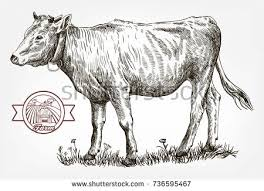 breeding cow grazing cattle animal husbandry stock vector
