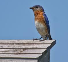 two blue eggs u2026 bluebird diary