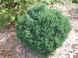 online plant guide buxus u0027green mound u0027 green mound boxwood