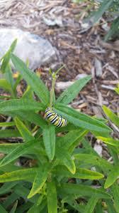 best 20 monarch caterpillar ideas on pinterest monarch