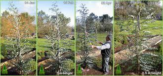pruning ornamental eucalypts eucalyptus gunnii exle