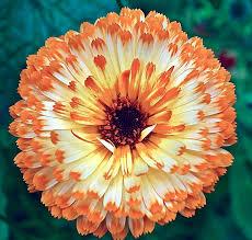calendula flowers calendula flower orange free photo on pixabay