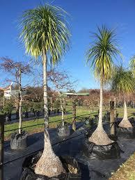 tamata ornamental tree nursery home